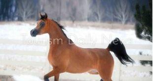 شتاء بارد جداً على الخيول العربية .. ومخاوف على السياحة