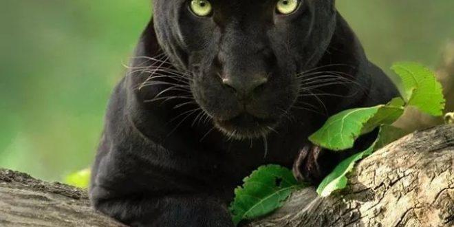 ثلاث سنوات و10 ساعات لتصوير النمر الأسود