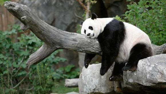 الباندا العملاقة تنجب صغيرًا يتمتع بصحة جيدة في واشنطن