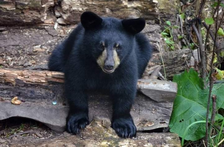 النيابة تفتح تحقيقا فى حادث التحرش بسائحة مكسيكية وتعاين الدب سيئ السلوك