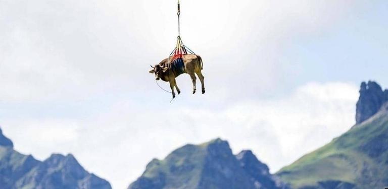 بقرة تطير فوق جبال الألب بسويسرا... بالصور