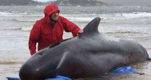 فرق الإنقاذ تكشف نفوق 380 من الحيتان العالقة عند خليج بجنوب أستراليا