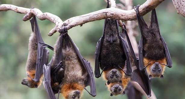 مركز البحوث الزراعية ينفي وجود فيروس نيباه بمصر ويطلب مسحة لخفافيش الفاكهة