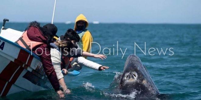 اللغب مع الحيتان تجربة مثيرة على سواحل جزيرة باها كاليفورنيا بالمكسيك