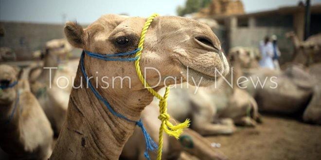 """سوق """"دراو"""" للجمال مقصد تجاري سياحي كبير خلال عيد الأضحي في جنوب مصر"""