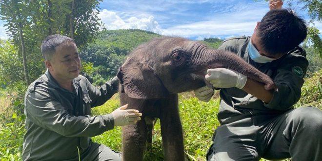 السلطات المحلية في الصين تتمكن من إنقاذ فيل رضيع مريض تقطعت به السبل